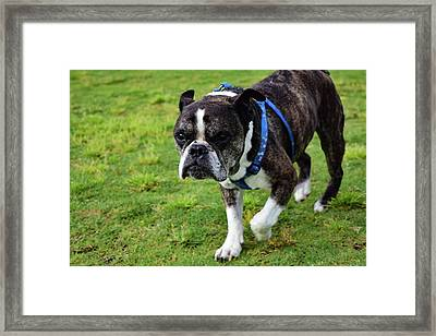 Leroy The Senior Bulldog Framed Print