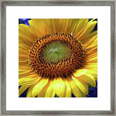 Sensational Sunflower Framed Print by Christine Belt