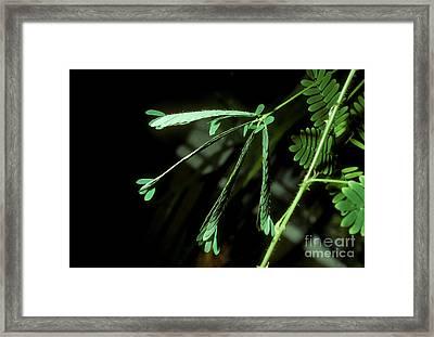 Sensitive Mimosa After Stimulation Framed Print