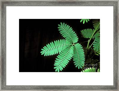 Sensitive Mimosa Before Stimulation Framed Print
