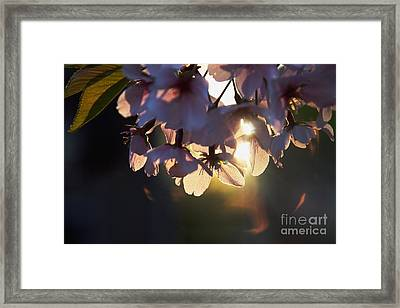 Sentimental Blooming Framed Print by Hideaki Sakurai