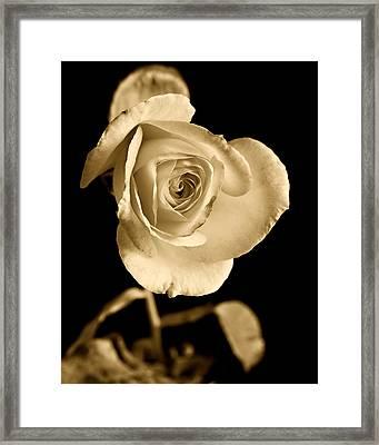 Sepia Antique Rose Framed Print by M K  Miller