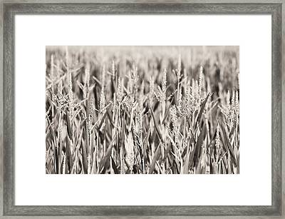Sepia Field Framed Print by Dan Sproul