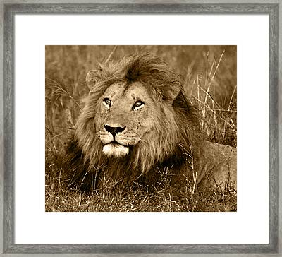 Sepia Lion Framed Print by Nancy D Hall