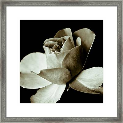 Sepia Rose Framed Print by Frank Tschakert