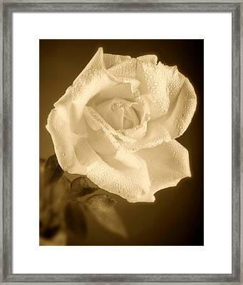 Sepia Rose With Rain Drops Framed Print