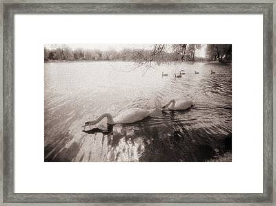 Sepia Swans Framed Print