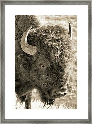 Sepia Tone Bison Framed Print