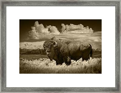 Sepia Toned Photograph Of An American Buffalo Framed Print