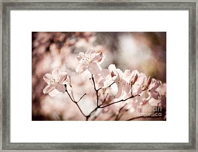 Sepia Toned Rhododendron Called Azalea Flowers  Framed Print by Arletta Cwalina