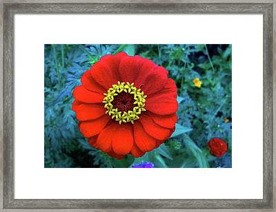 September Red Beauty Framed Print