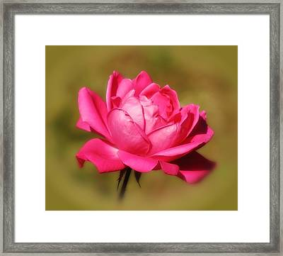 September Rose Up Close Framed Print