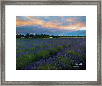 Sequim Lavender Sunset Framed Print