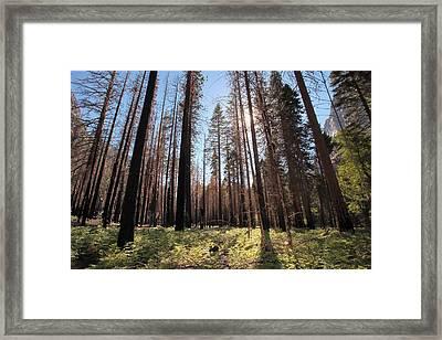Sequoia Forest At Sunrise Framed Print by Rick Pham