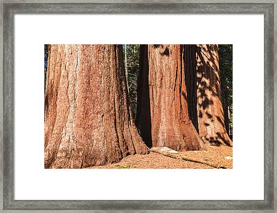 Sequoia Framed Print