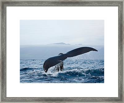 Serene Humpback Whale Fluke Framed Print by Monica and Michael Sweet