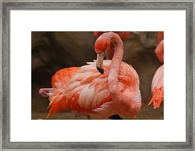 Serious Flamingo Framed Print by Teresa Blanton