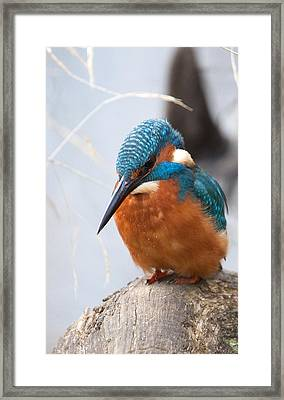 Serious Kingfisher Framed Print