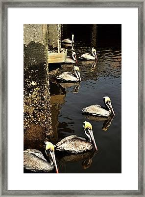 Seven Pelicans Framed Print