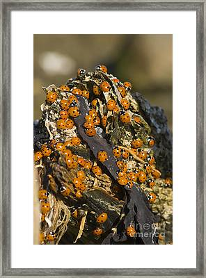 Seven-spot Ladybirds Framed Print by Steen Drozd Lund