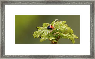 Seven Spots In A Crown Of Oak Framed Print