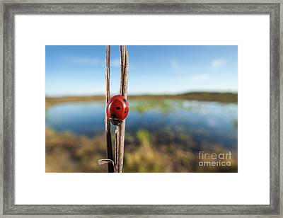 Seven-spotted Lady Beetle IIi Framed Print by Clarence Holmes
