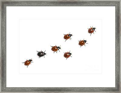 Seven-spotted Lady Beetles Framed Print by Jean-Louis Klein & Marie-Luce Hubert