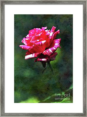 Sexy Rexy Rose Framed Print by Kaye Menner