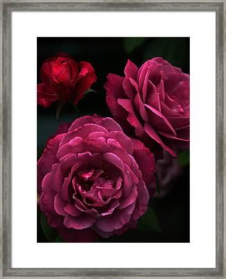 Shaded Roses Framed Print by Kim