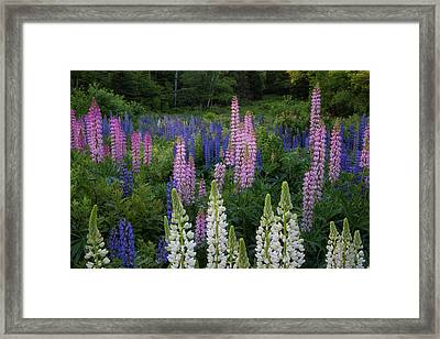 Shades Of Lupines Framed Print