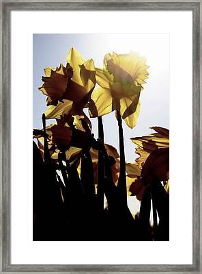 Shadowed Daffodils Framed Print by Karla DeCamp