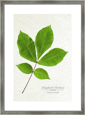 Shagbark Hickory Framed Print by Christina Rollo