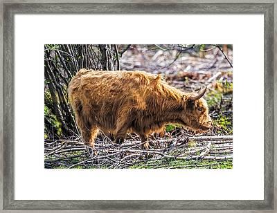 Shaggy Bull Framed Print by Paul Freidlund