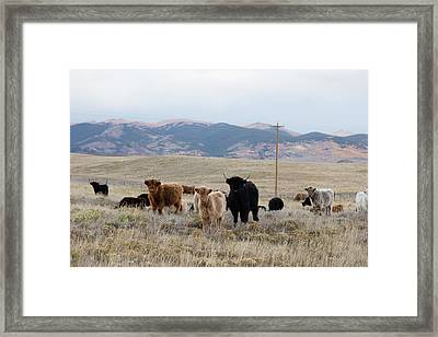 Shaggy-coated Cattle Near Jefferson Framed Print