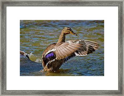 Framed Print featuring the photograph Shake It Off by Linda Unger