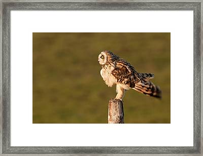 Shaking Short-eared Owl Framed Print by Roeselien Raimond
