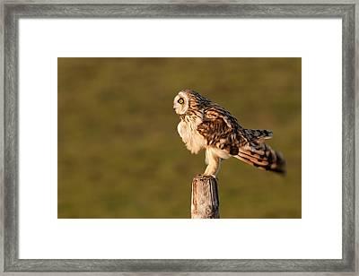 Shaking Short-eared Owl Framed Print by Roeselien Raimond