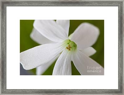 Shamrock Blossom Framed Print by Sharon Talson