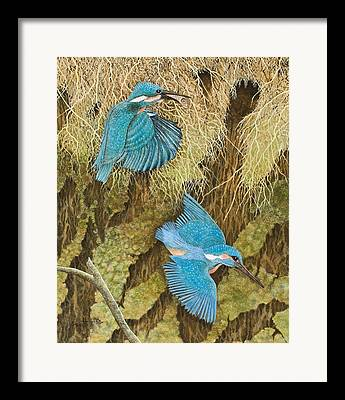 Kingfisher Framed Prints