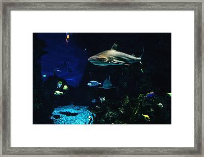 Shark In A Tank Framed Print
