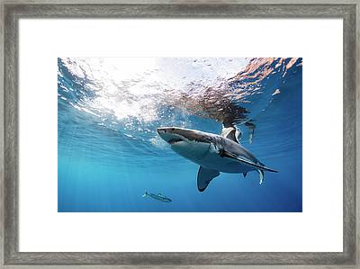 Shark Rays Framed Print by Shane Linke