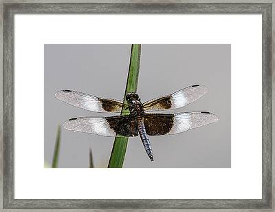 Sharp Focus Dragonfly Framed Print by John Haldane