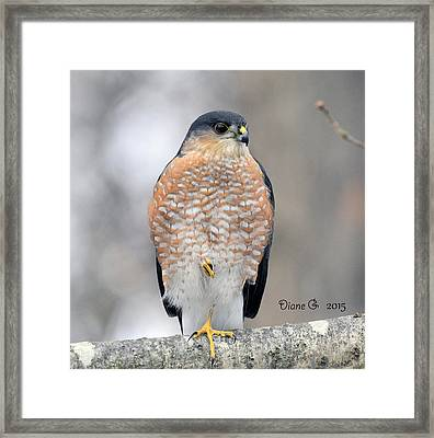 Sharp-shinned Hawk Framed Print