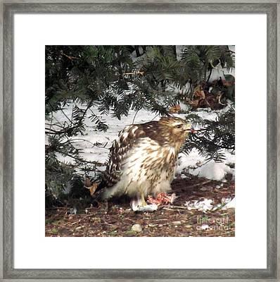 Sharp Shinned Hawk Feeding On Its Prey Framed Print