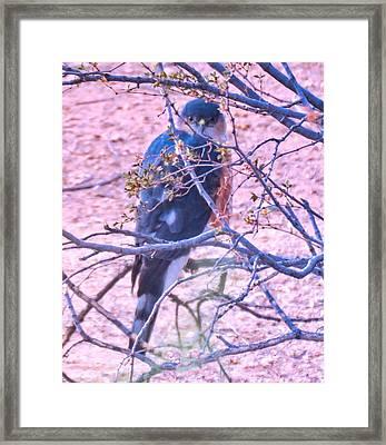 Sharp-shinned Hawk Hunting In The Desert 2 Framed Print