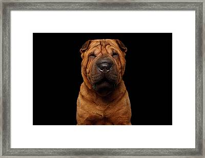 Sharpei Dog Isolated On Black Background Framed Print