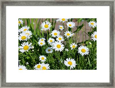 Framed Print featuring the photograph Shasta Daisies  by Christy Pooschke