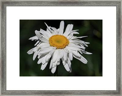Shasta Daisy Day Framed Print