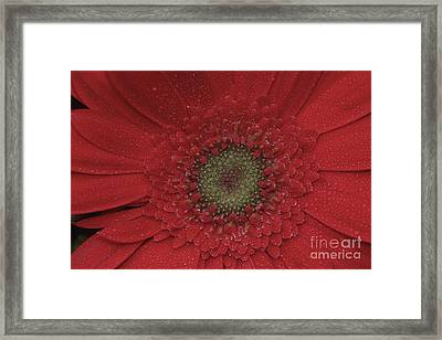 Shasta Daisy Macro Framed Print by Stan and Anne Foster