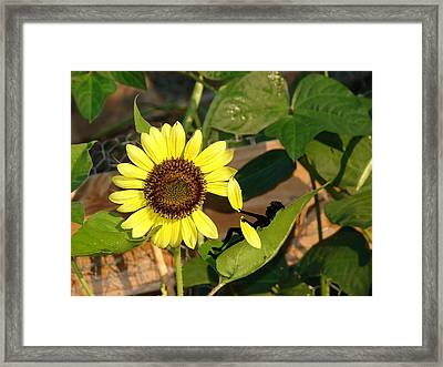 She Loves Me Not Framed Print by Laura Brightwood